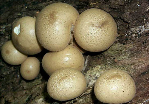 recipe: are puffballs poisonous [8]