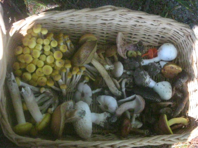 For some people, the yellow honey mushrooms occupying the left-hand side of the basket might be too much to eat. Photo by Leon Shernoff