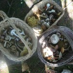 Baskets of mushrooms from the 2013 Rogerson foray Photo by Leon Shernoff