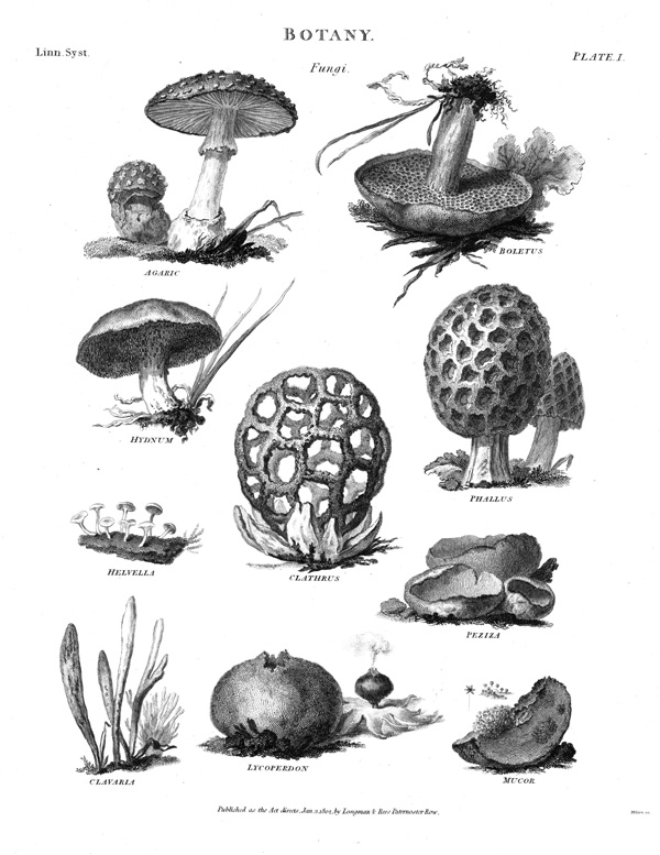 The genera of fungi according to Linnaeus's Systema Naturae (1753). The genus Phallus, towards the top right, is represented by a morel.