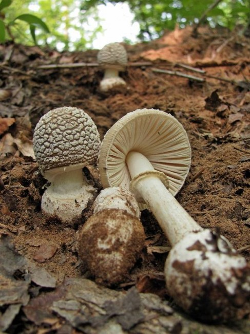 The buttons of A. multisquamosa have more of the dark brown on the cap. Photo by Eric Smith