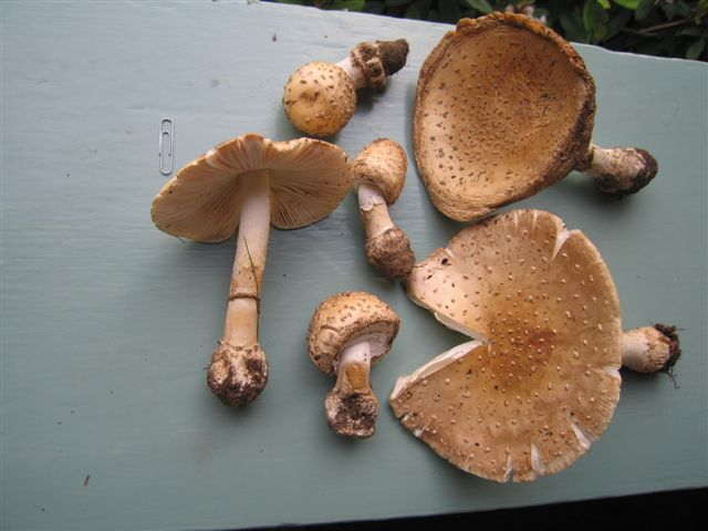 Amanita rubescens, showing typical blusher stem bases and size range. These were growing under dry conditions (see the edge of the one at top right) and so haven't changed color much. Photo by Leon Shernoff
