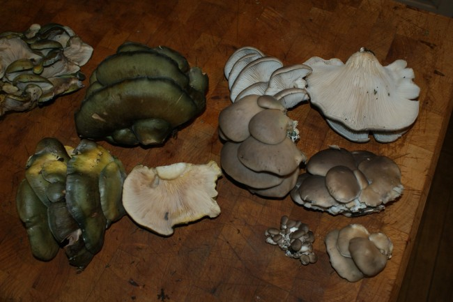 Oysters (brown-capped, on the right) and Late Fall Oysters (green-capped, on the left. Photo by Greg Marley