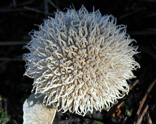 Spiny puffball